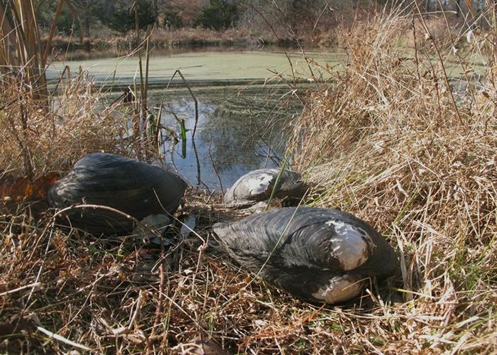 官员在鱼塘发现来自中国的超大贻贝。