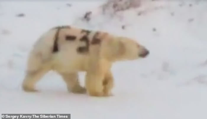 """俄罗斯一只北极熊被人涂上巨大""""T-34""""字样"""