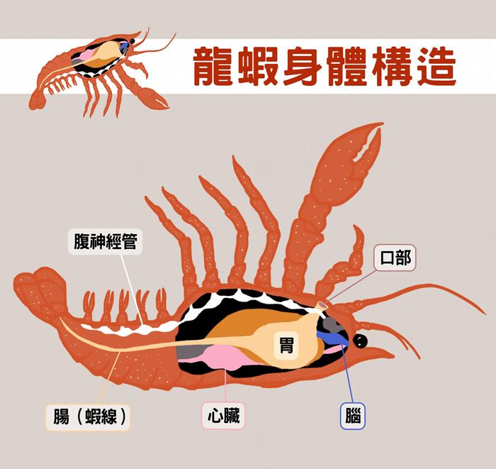 龙虾一样有神经管,把牠翻过来,神经管在上、肠子在下,很像脊索动物。 图说设计│黄晓君、林洵安