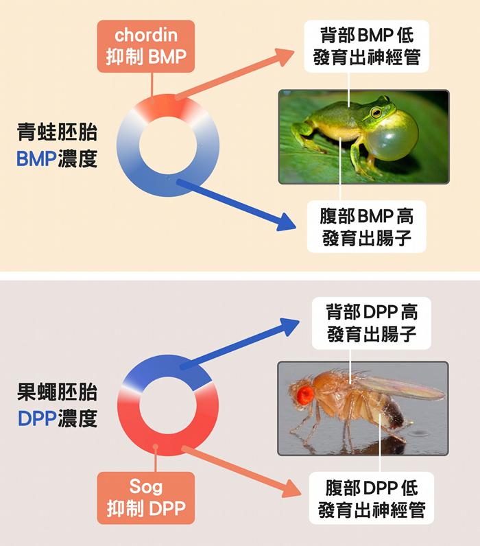 人青蛙的神经管长在背面、果蝇在腹面,正是因为控制背腹体轴发育的蛋白质浓度分布不一样。 数据源│苏怡璇 ;图片来源│维基百科、Unsplash ;图说设计│黄晓君