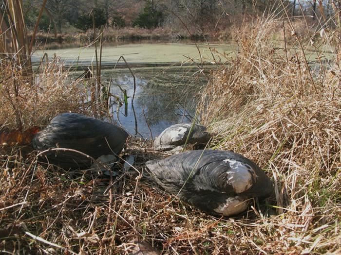 """美国新泽西州池塘被超巨大的""""背角无齿蚌""""(Chinese pond mussel)入侵"""