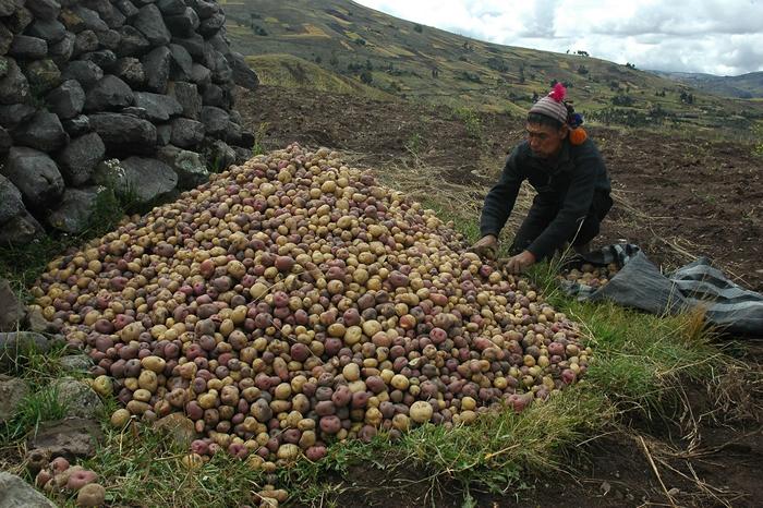 考古学家认为,马铃薯是7000年前秘鲁农民的祖先在现代秘鲁和玻利维亚之间的「的的喀喀湖」岸上栽培出来的。 图片来源:International Potato C