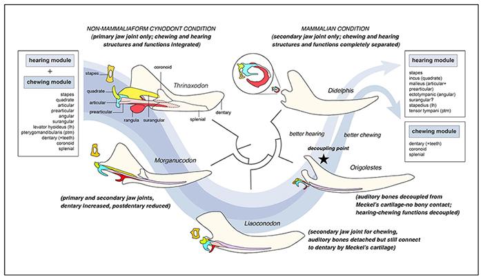 哺乳动物(兽类)听觉和咀嚼形态功能模块式演化分离示意图 (毛方园 供图)