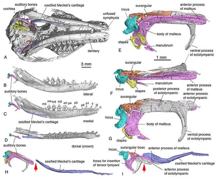李氏源掠兽中耳、内耳、麦氏软骨的形态和解剖学位置。H, 箭头指向听骨与麦氏软骨分离点。I,箭头指向辽尖齿兽过渡型中耳听小骨和麦氏软骨的骨连结 (毛方园 供图)