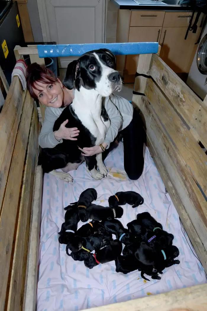 英国一只大丹犬和美国斗牛犬的混种狗Mary Jane生下21只宝宝创造新的世界纪录