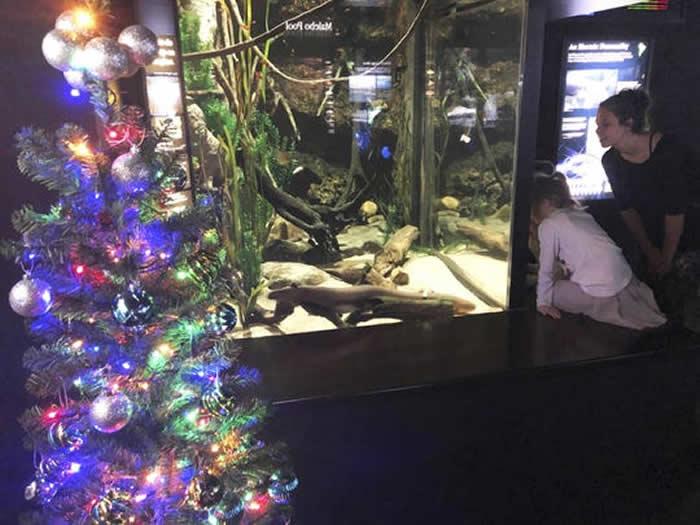 """美国田纳西州水族馆的电鳗""""发电""""点亮圣诞树 心情好还能出现更亮的灯光"""
