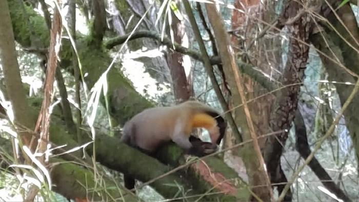 台湾玉山国家公园黄喉貂将菊池氏龟壳花抓到树上去大快朵颐