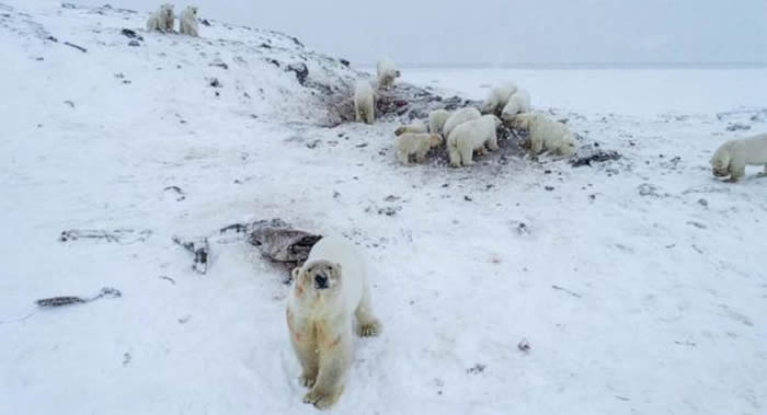 冰层太薄!56头北极熊侵入俄罗斯楚科奇自治区村庄找食物