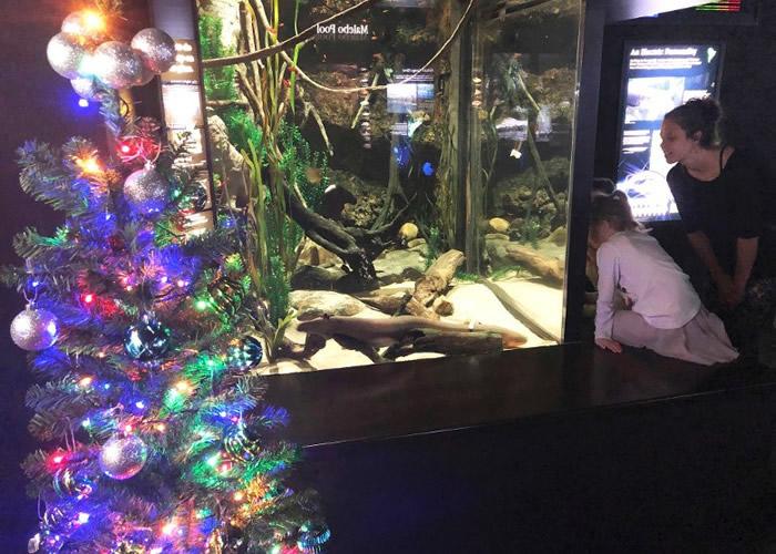 靠电鳗发出电光,圣诞树灯饰闪闪发光。