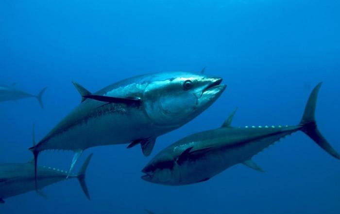 吞拿鱼等大型鱼类易受缺氧影响。