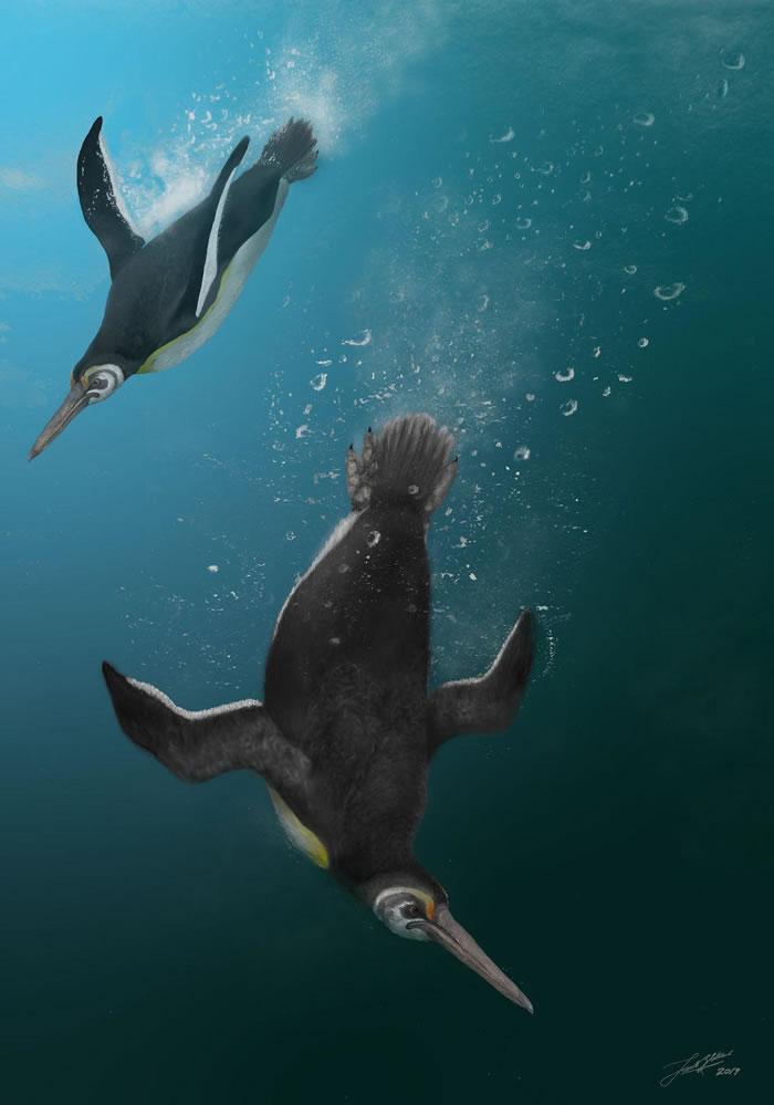 科学家发现现代企鹅最古老的祖先Kupoupou stilwelli在恐龙灭绝后立即开始进化