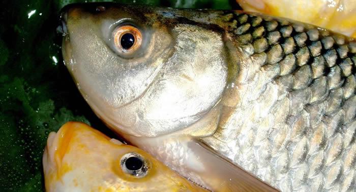 英国比斯特市鲤鱼在15米高空处从鹭鸟嘴中逃脱落地竟生还