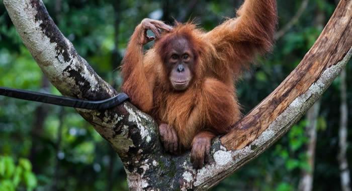 """英国埃克塞特大学专家部分破译婆罗洲猩猩的""""语言"""""""