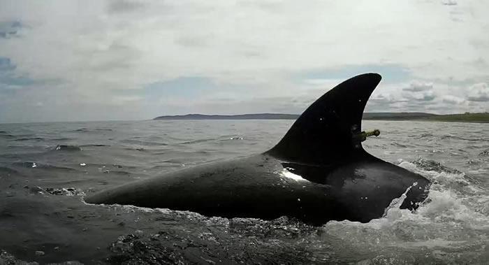 """""""祖母效应""""!研究结果表明有祖母的虎鲸寿命更长"""