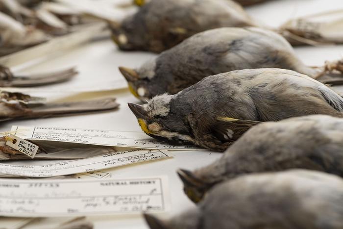 1978-2016年间,由密西根大学主导的大型研究计划测量了7万多件鸟类标本。 图片来源:密西根大学新闻稿/Roger Hart/University of M