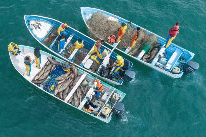 墨西哥加尼福尼亚湾渔民非法捞捕石首鱼 威胁濒危小头鼠海豚