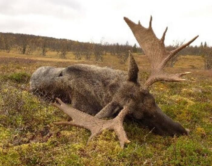 英国法夫的苏格兰野战队在挪威国家公园提供驯鹿、公牛及奶牛的狩猎活动