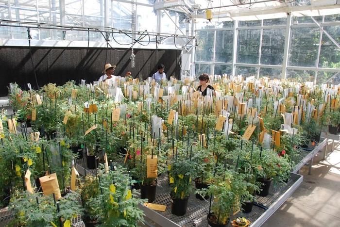加州大学戴维斯分校(University of California, Davis),正在进行鹰嘴豆的预先育种(Pre-breeding)。 预先育种是将各种已