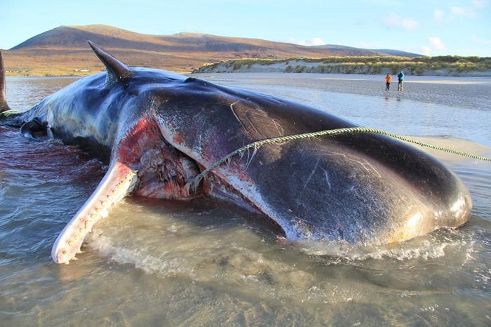 2019年11月,苏格兰哈里斯岛(Isle of Harris)一处海滩上发现一头死亡的年轻抹香鲸。 解剖检查发现牠的胃里有约100公斤缠绕成团的垃圾。 PHO