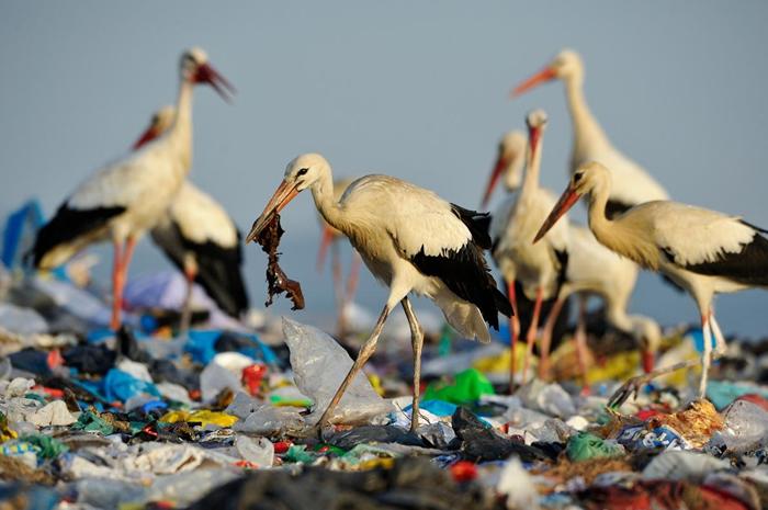 白鹳(white stork)在西班牙一处垃圾掩埋场觅食。 这里的垃圾量非常庞大,以致于白鹳不再迁徙,因为牠们一整年都可以在垃圾中找到食物PHOTOGRAPH