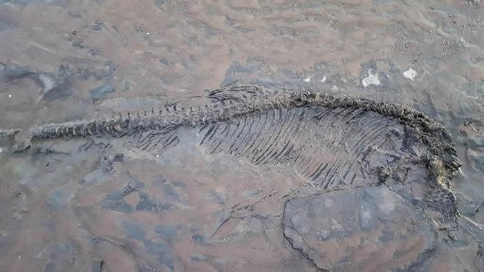 英国业余考古学家在萨默塞特郡斯托尔福德海滩遛狗时意外发现6500万年前鱼龙化石