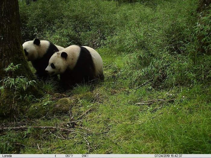 全球首次!四川卧龙牛头山拍到野生亚成体大熊猫双胞胎影片