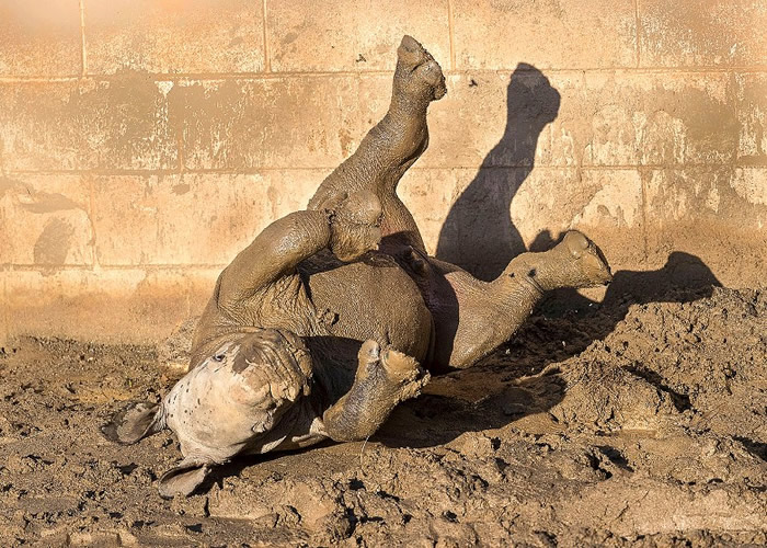 """美国加州圣迭戈动物园迎来园内第100只南方白犀牛宝宝 取名""""未来""""象征保育"""
