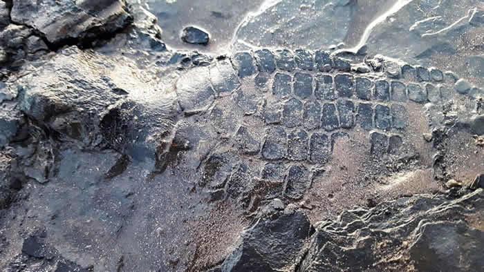 英国业余考古学家海滩遛狗意外发现6500万年前鱼龙化石