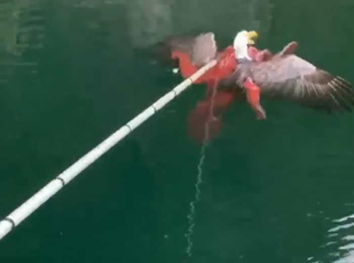 加拿大西海岸渔民在章鱼触须下救出秃头鹰