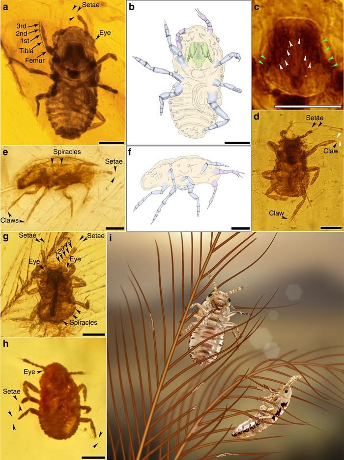 《自然·通讯》:白垩纪中期琥珀中取食恐龙羽毛的新昆虫——恩氏中生食毛虫