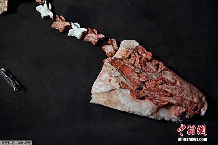 """巴西南部出土三叠纪恐龙""""卡布雷拉噬颌龙""""Gnathovorax cabre化石 距今已有2.3亿年"""