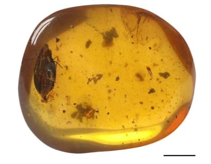 15岁高中生宋丞峻在琥珀中发现恐龙时代新物种——齿胸波眼甲Notocupes denticollis