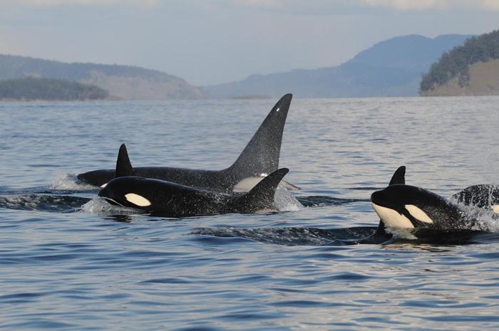 一个虎鲸家族从太平洋西北地区的海面浮出,这些海豚科动物正在进行合作狩猎。 PHOTOGRAPH BY KENNETH BALCOMB, CENTER FOR W