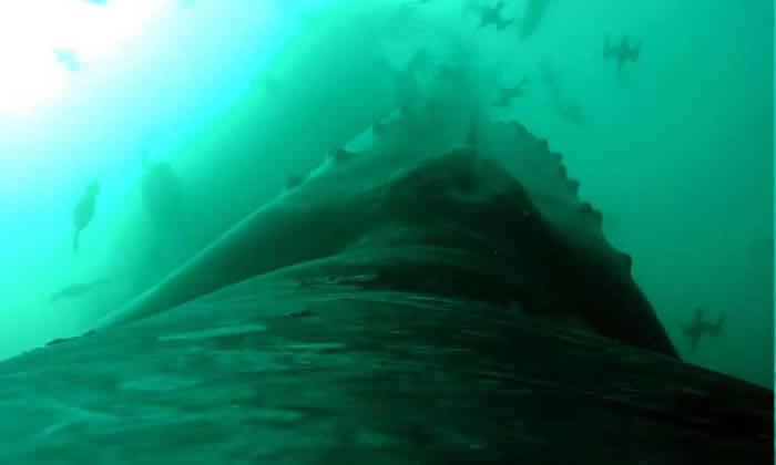 座头鲸利用欺骗手段神不知鬼不觉地接近鱼群