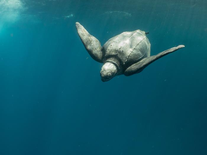 神秘的大革龟。 摄影:苏淮