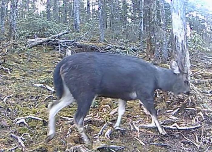 云南德钦县白马雪山自然保护区首次拍摄到濒危动物水鹿的影像