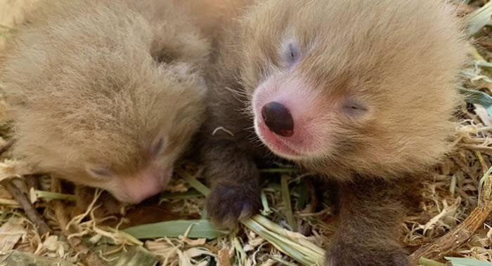 澳大利亚珀斯市动物园一周内有两种濒危动物生下双胞胎:小熊猫和熊狸