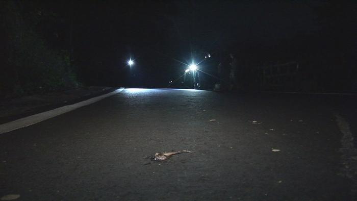 繁殖季穿越马路,常使梭德氏赤蛙命丧轮下。 环境信息中心数据照片
