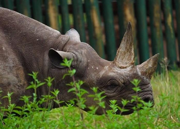 全球最老黑犀牛福斯塔(Fausta)在坦桑尼亚恩戈罗恩戈罗保护区逝世 终年57岁