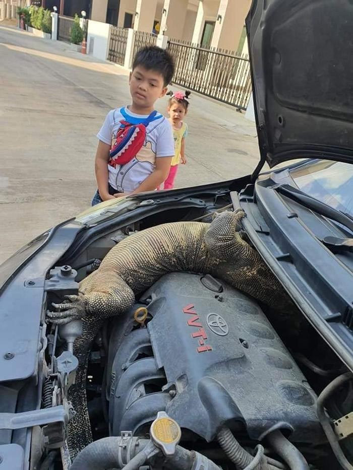泰国男子跨年发现车子发不动 打开引擎盖发现巨大蜥蜴在里面呼呼大睡
