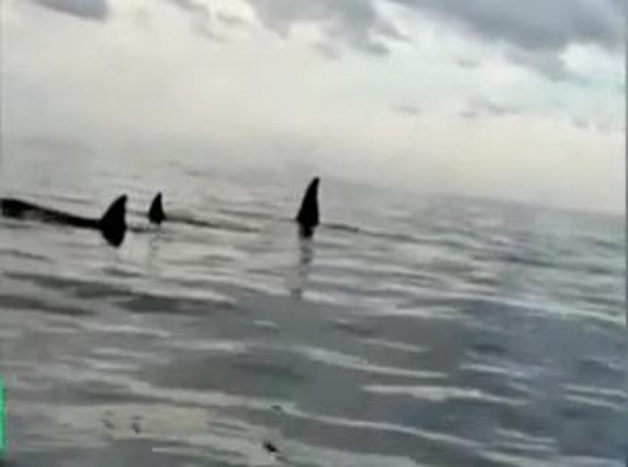 杀人鲸的鳍肢高举水面。