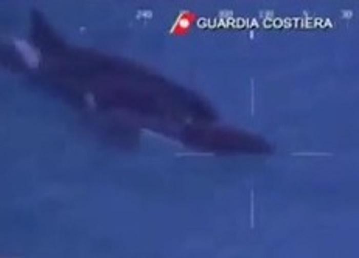 防卫队拍得母鲸在抢救一条濒死小鲸。