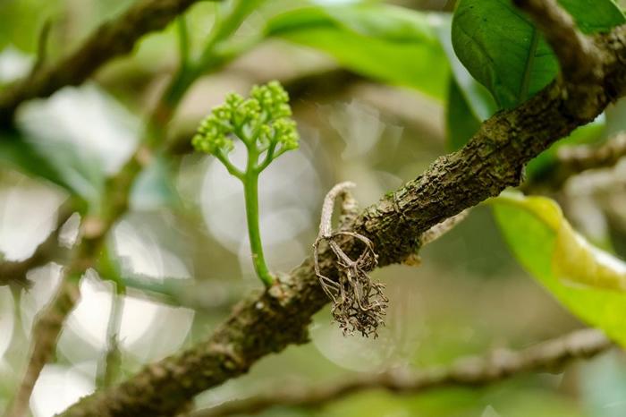 在科学家罗斯. 毕佛(Ross Beever)成功地将一截取自原本那棵凯科玛寇木的扦插苗耐心栽培到能繁殖之前,全世界就只有一棵凯科玛寇木。 PHOTOGRAPH