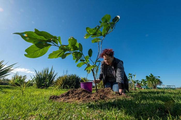 薛莉登. 怀泰(Sheridan Waitai)正在帮一棵凯科玛寇幼苗浇水,她和其他纳提库里部族成员种下了80棵树苗,这是其中一棵。 这个在地毛利部族负责守护生