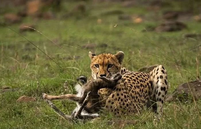 肯尼亚马赛马拉国家保护区猎豹亲舔初生羚羊 下一秒追杀咬死