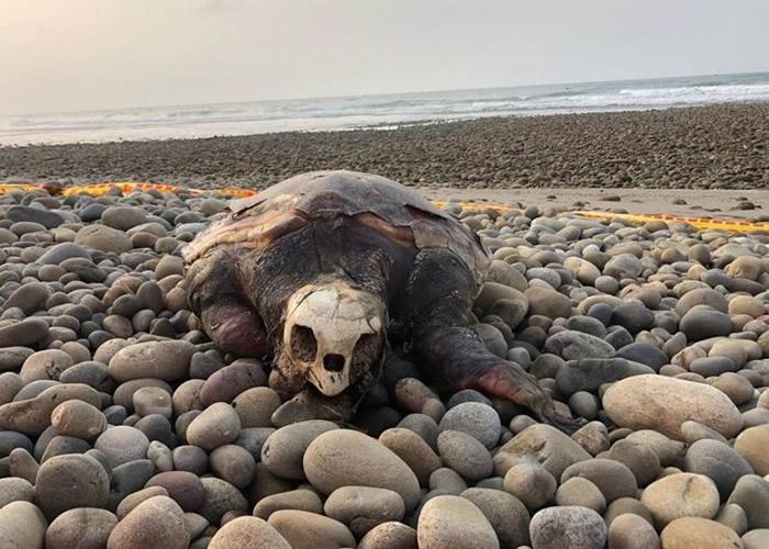 """台湾台中松柏渔港发现死亡海龟 """"中华鲸豚协会""""确认为濒危赤蠵龟"""