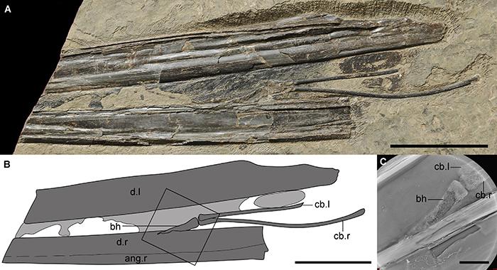 第一件保存有基舌骨的翼龙化石(IVPP V 14189),比例尺分别为50 mm,50 mm和10 mm。