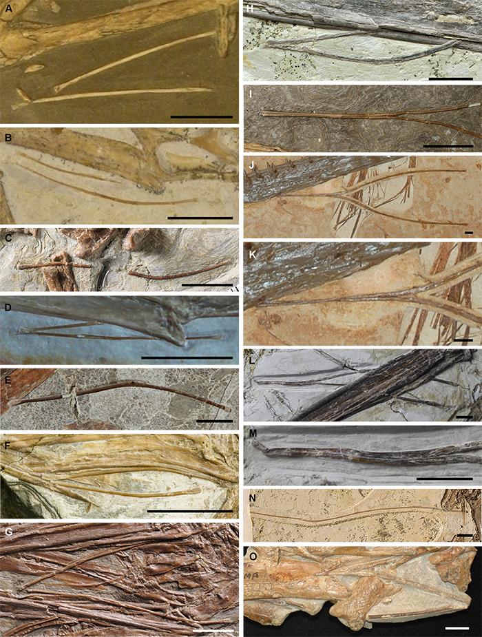 翼龙类群中已知保存较完整的舌骨的化石,比例尺为10 mm。