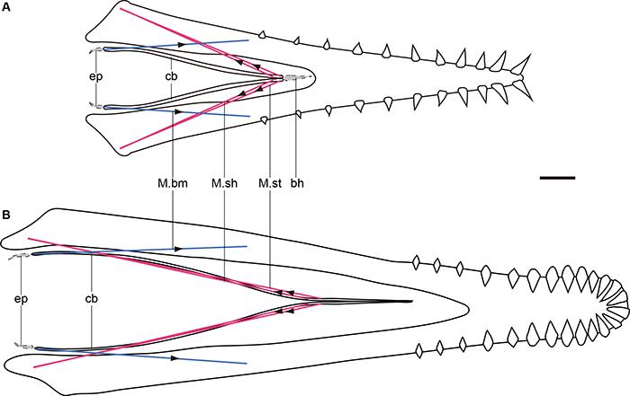 郝氏翼龙和辽西翼龙下颌及舌骨示意图。红线代表推测的肌肉M. serpihyoideus和M. stylohyoideus,蓝色代表了推测的肌肉M. branch