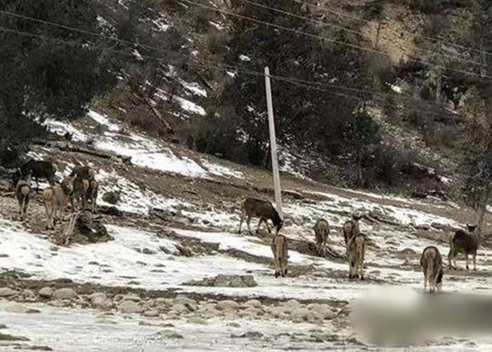 四川省甘孜州白玉县麻绒乡马门村村民拍摄到一群白唇鹿在雪地上休憩喝水